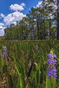 Wetland full of pickerelweed