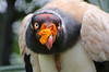 King Vulture, Belize Zoo