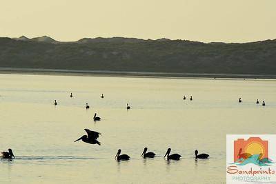 pecho pelicans 007 w