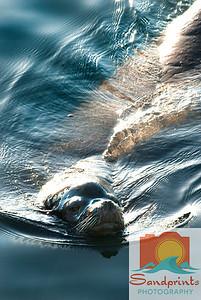MB sea lion_sandprints