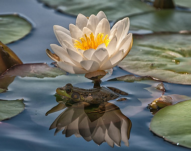 1st Place- Judith Bain presents In the Shade of a Water Lily