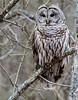 Garry Kirsch presents Barred_Owl_