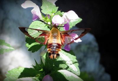 "Snowberry Clearwing ""Hummingbird Moth"" by Lloyd Holmes"