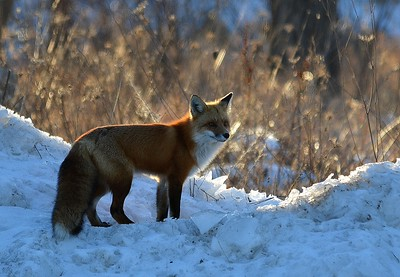 picture of fox on south edge of village of Madoc by Lloyd Holmes