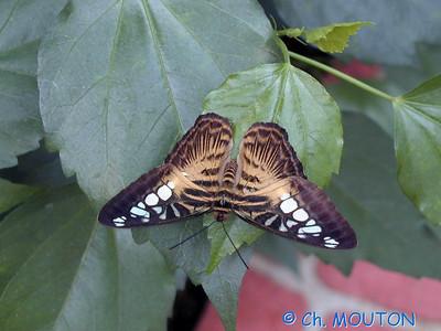 Orleans Serre aux papillons 11 C-Mouton