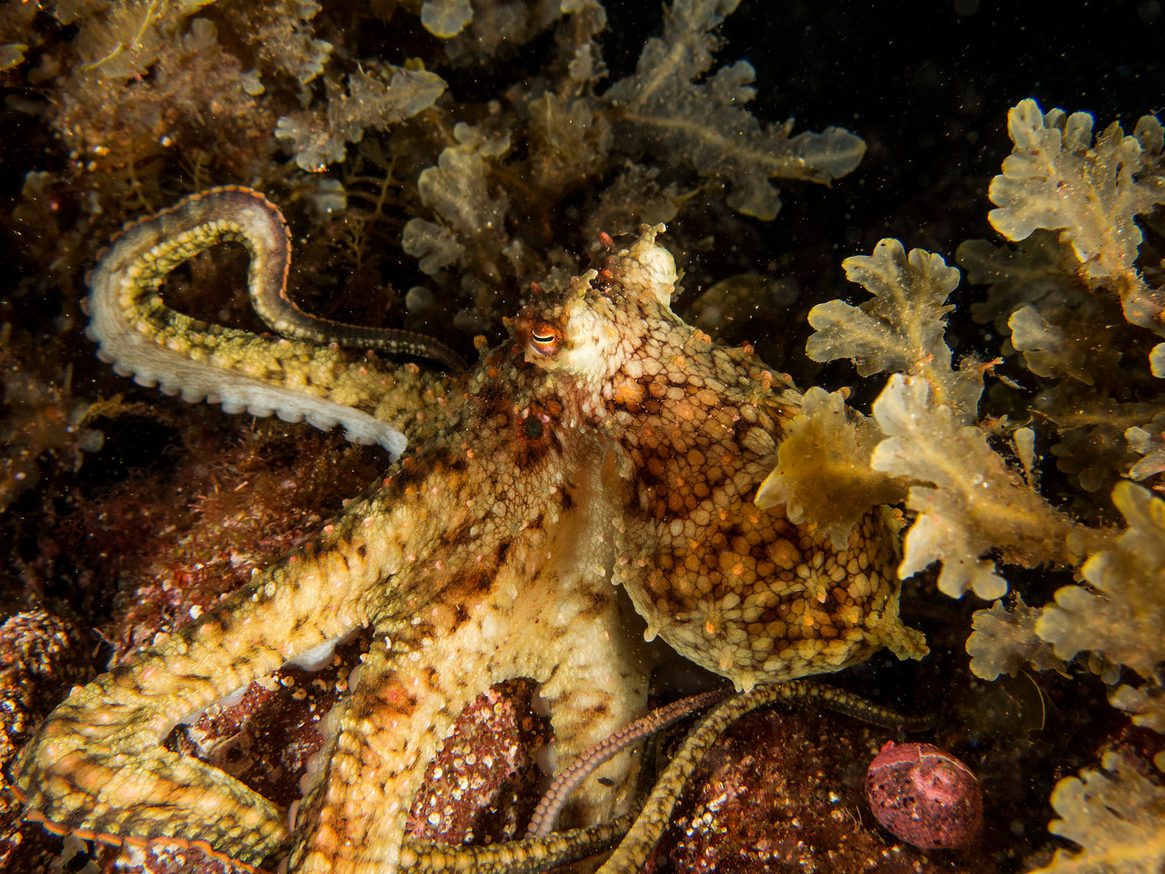 Two-spot Octopus (Octopus bimaculatus)