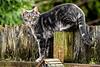 Neighborhood outdoor cat prowls the fenceline