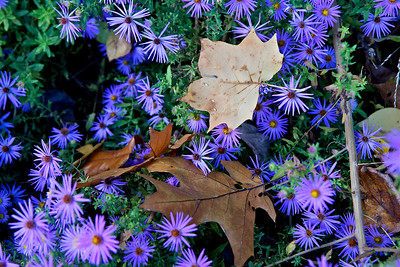 Asters and leaves, the National Arboretum, Washington, DC, October 2016.
