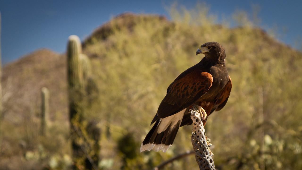 Káně sedí na odumřelém kaktusu, takže je krásně vidět, jak takový kaktus vypadá vevnitř.