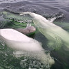 Beluga whale calf swimming with the big boys.