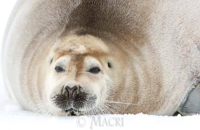 Bearded Seal 700lb