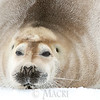 Bearded Seal 700lb