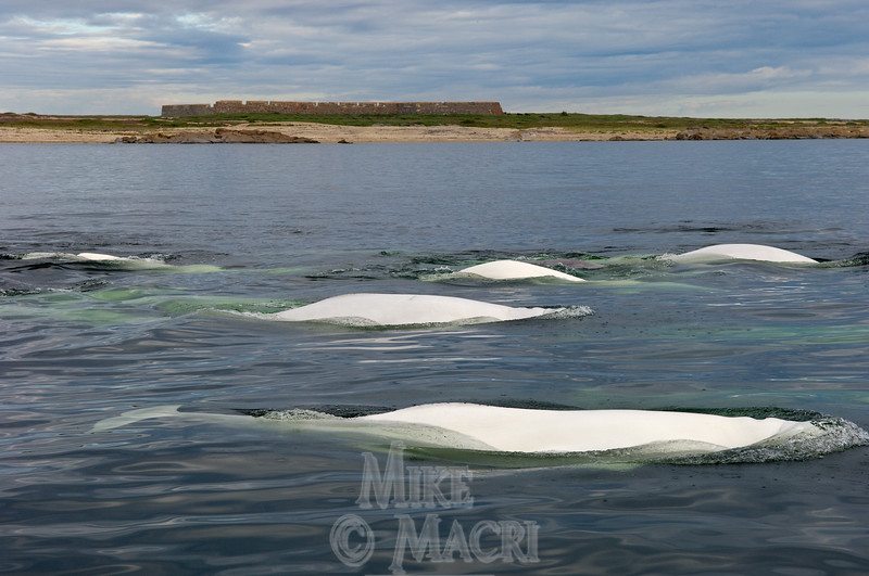 Beluga whale pod passing Prince of Wales Fort.