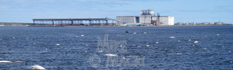 Beluga whales in Churchill Harbor.