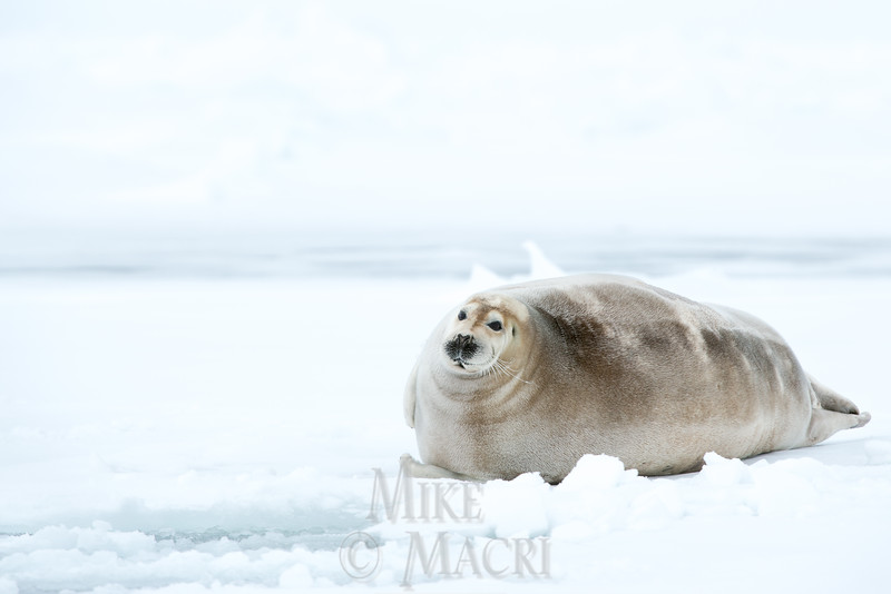 bearded seal on Hudson Bay ,700 lb