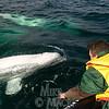 Close-up beluga with Sea North Tours.