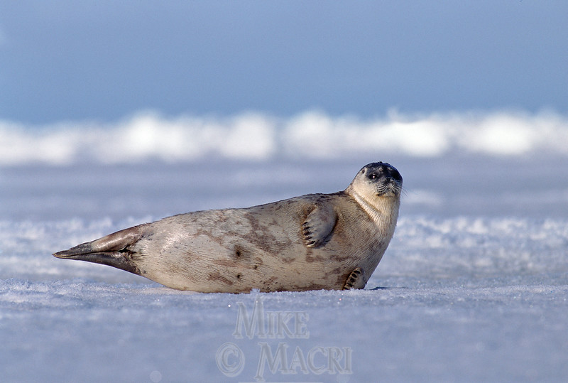Ring seal on Hudson Bay.