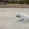 Breaching belugas