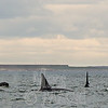 Orca in Hudson Bay, Prince of Wales Fort.
