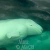 belugas looking at people in boat.
