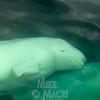 belugas looking at people in boat.