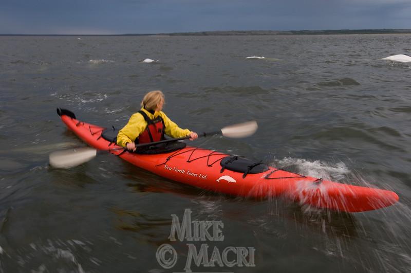 Kayaking with belugas.