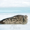 In May Hudson Bay sea ice begins to melt and ring seals begin to bask in midday sunlight.
