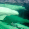 Beluga whales swimming alongside boat.
