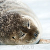 #2 In May an adult ring seal basks in harsh midday sun which triggers shedding of  its winter coat.