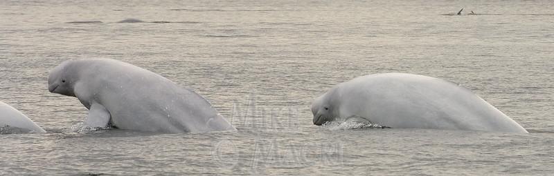 Beluga breaching in the wild.