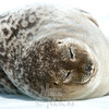#1 In May an adult ring seal basks in harsh midday sun which triggers shedding of  its winter coat.