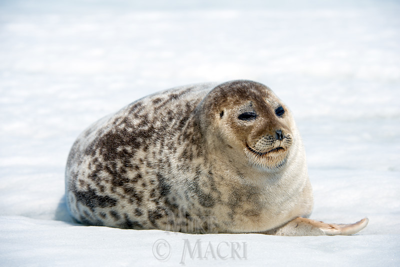 #3 In May an adult ring seal basks in harsh midday sun which triggers shedding of  its winter coat.