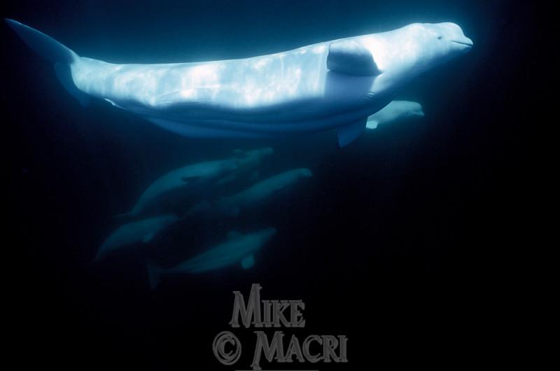 Underwater pod of Beluga.