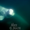 Underwater beluga.