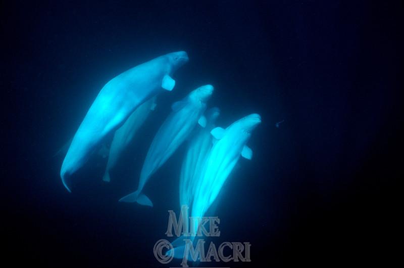 Curious Beluga