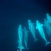 Underwater beluga pod.