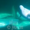 Underwater beluga