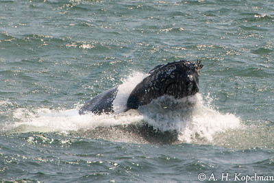 Surface filtering humpback (Megaptera novaeangliae) in NY Harbor area