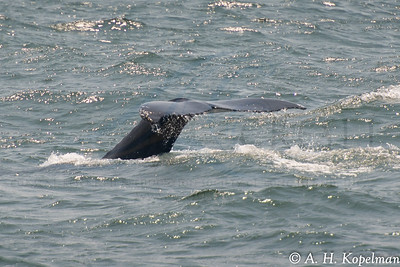 Fluke of Humpback (Megaptera novaeangliae) in NY Harbor area