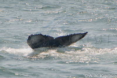 Un dwserside of fluke, Humpback (Megaptera novaeangliae) in NY Harbor area