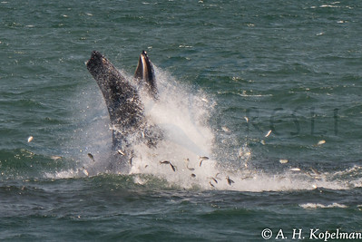 Humpback (Megaptera novaeangliae) in NY Harbor area, lunge feeding on menhaden