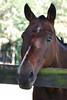 Clyde  - The Horses and Ponies of Chukkar Farm
