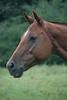Dolly  - The Horses and Ponies of Chukkar Farm