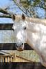Smoke Show  - The Horses and Ponies of Chukkar Farm