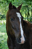 Socks  - The Horses and Ponies of Chukkar Farm