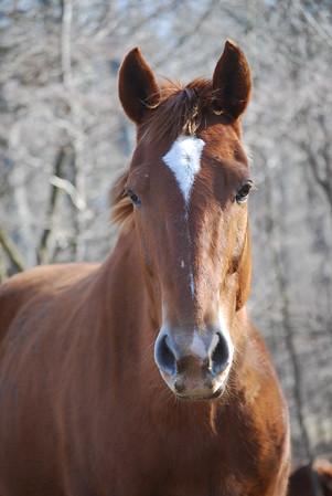 Spice  - The Horses and Ponies of Chukkar Farm