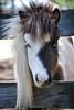 """Bubbles""  - The Horses and Ponies of Chukkar Farm"
