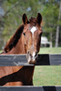 Diana  - The Horses and Ponies of Chukkar Farm