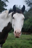 Phantom  - The Horses and Ponies of Chukkar Farm