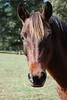 Ben  - The Horses and Ponies of Chukkar Farm